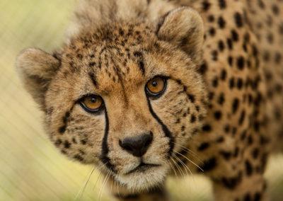 Cheetah and Craft Beer Tour