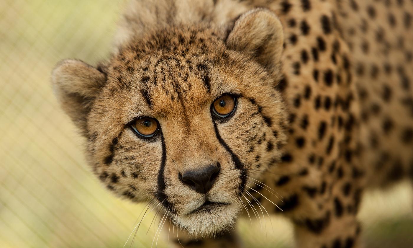 Cheetah & Craft Beer Tour