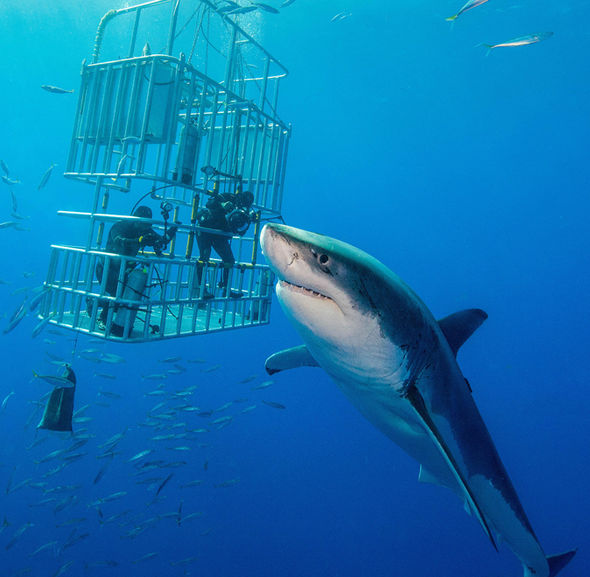 Full Day Shark Cage Diving Tour
