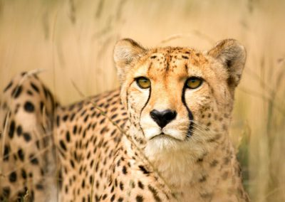 Cheetah, Penguin Colony & Wine Tour via the Whale Route